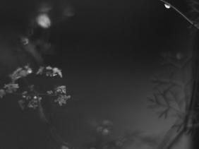 coriander flower droplet after rain