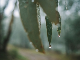 Rachael Willis - the bowerbird girl - TPP nature - plants - Gum leaves and raindrops